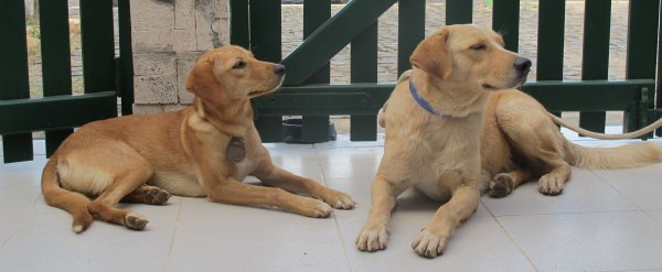 Podengo Labrador cross in the Cape Verde islands Brando+niki