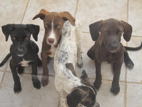 Four Podengo cross puppies found abandoned in Cape Verde Puppies